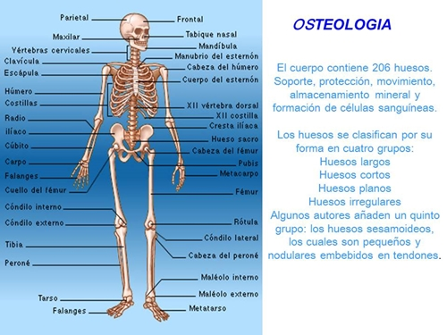 LOS HUESOS DEL CUERPO HUMANO (OSTEOLOGIA)